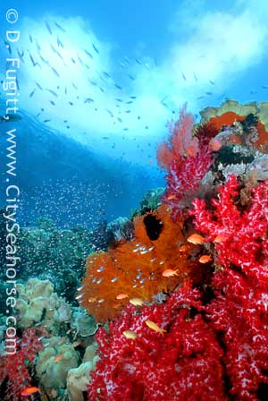 Raja Ampat beautiful coral diversity