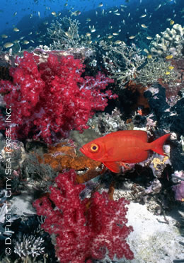 indonesia underwater photography red fish and corals