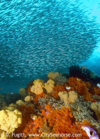 South Raja Ampat Diving with Silversides and Soft Corals