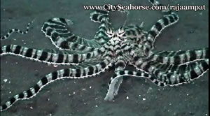 Day in the Trip - Mimic Octopus, Raja Ampat Muck Diving
