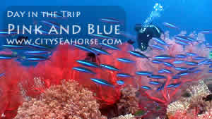 Day in the Trip - Pink and Blue, Raja Ampat Corals and Schooling Fish