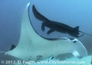 Two Manta Rays